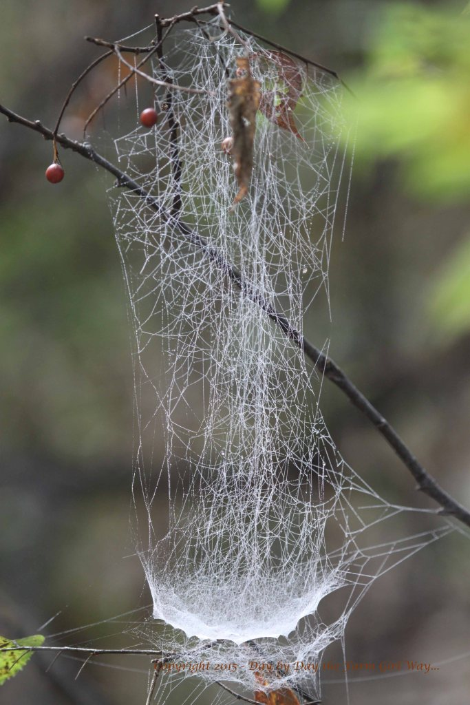 Hackberry Tree Web_3345