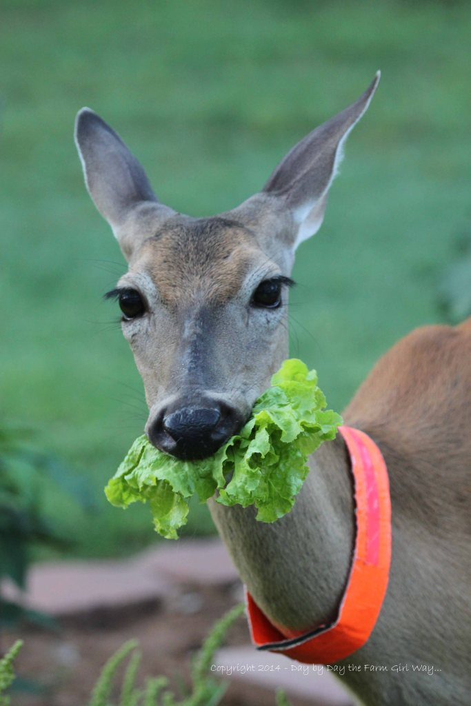 I'm really busy - BURP! (Yes, deer do belch).