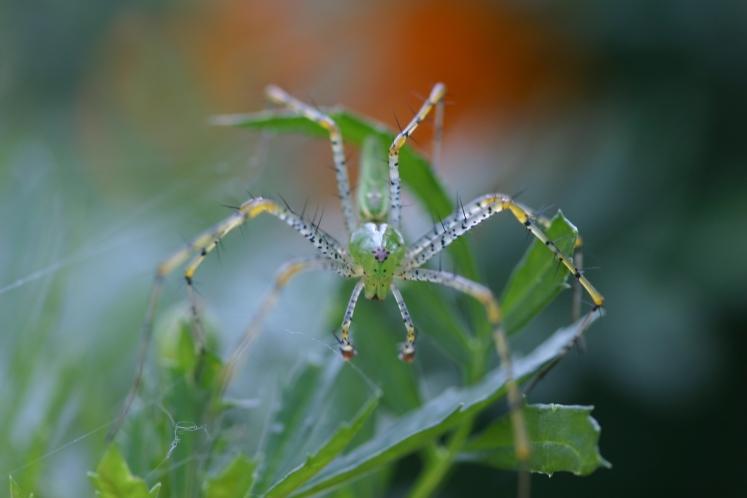 Green Lynx_5984