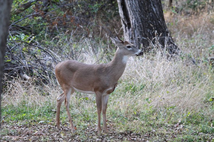 One-Antler Buck_8661
