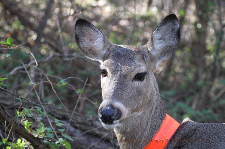 Deer have pupils in the shape of a horizontal ellipse to have a horizontal alignment with their environment. In this photograph, Daisy's eyes are horizontal with the horizon. When she grazes, her eyes turn 90° clockwise, to keep her view horizontally aligned.