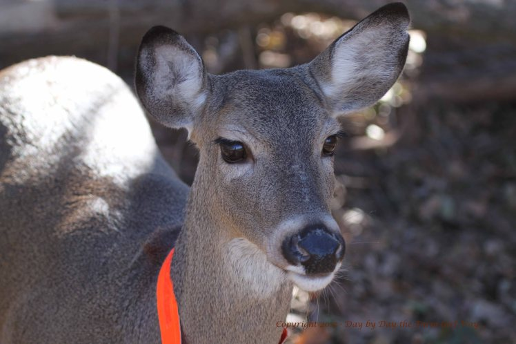 Daisy Deer_3724