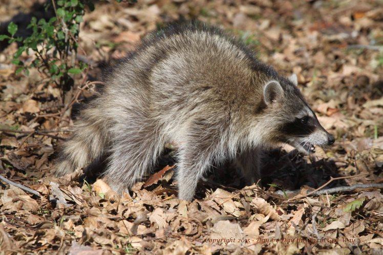 Raccoon_3743