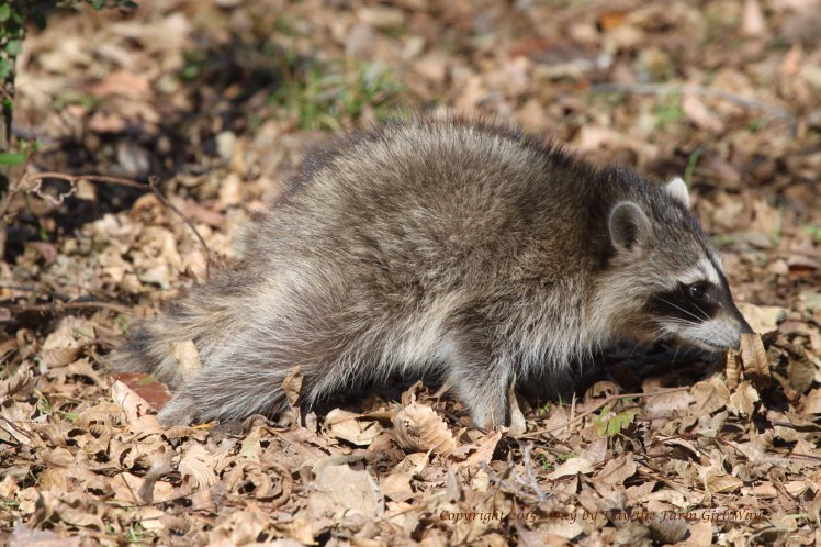 Raccoon_3745