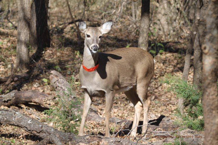 Daisy deer_3747