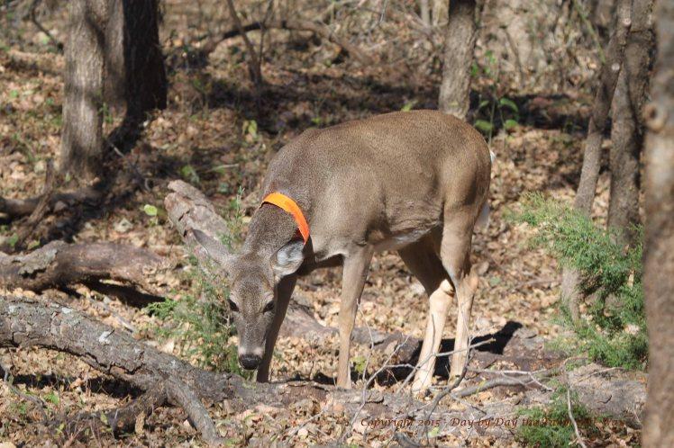 Daisy deer_3748