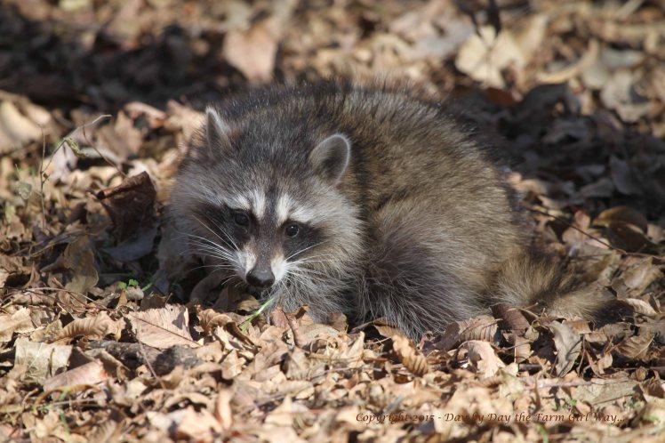 Raccoon_3753