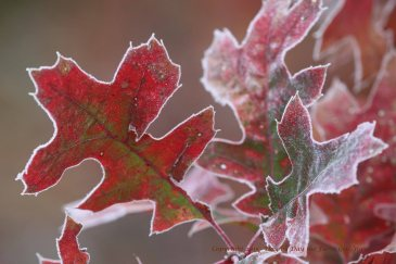 Frosty Oak Leaves.