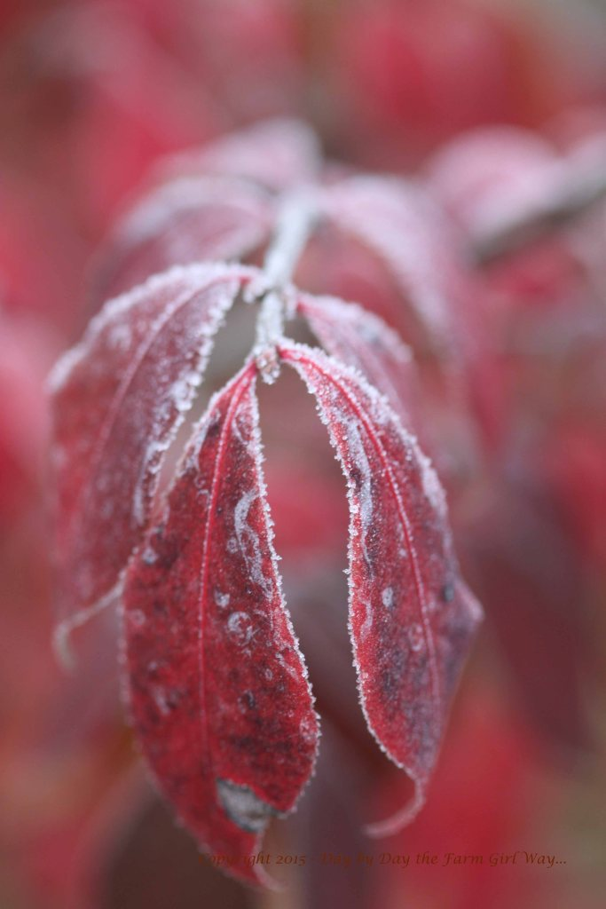 Burning Bush Leaves in Frost.
