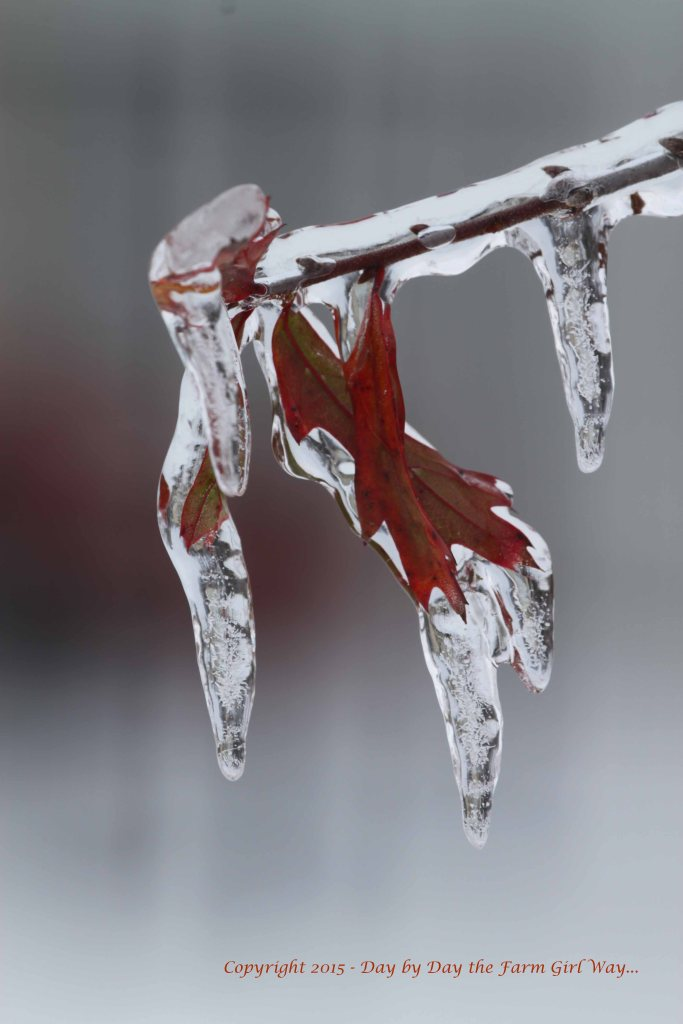 Oak Leaves Frozen in Time.