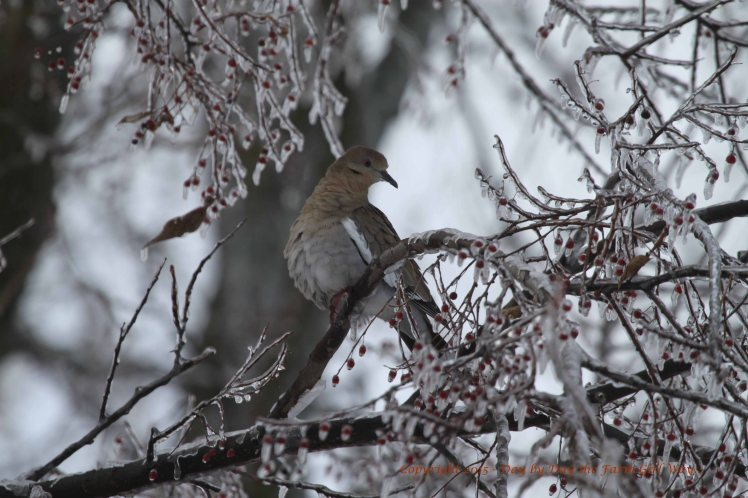 This White-Winged Dove finds a bit of shelter in an ice-glazed Hackberry Tree.