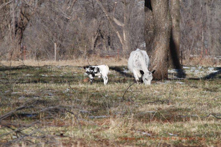 Bull Calf and Mama_4422