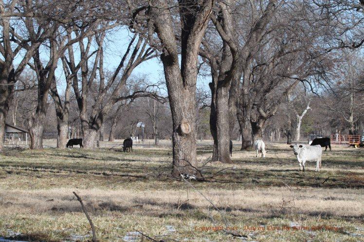 Bull Calf_4466