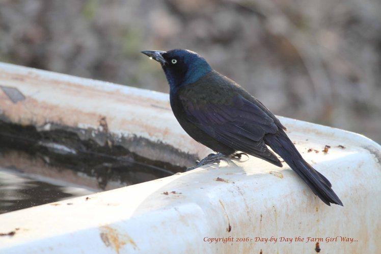 Brewer's Blackbird_4623