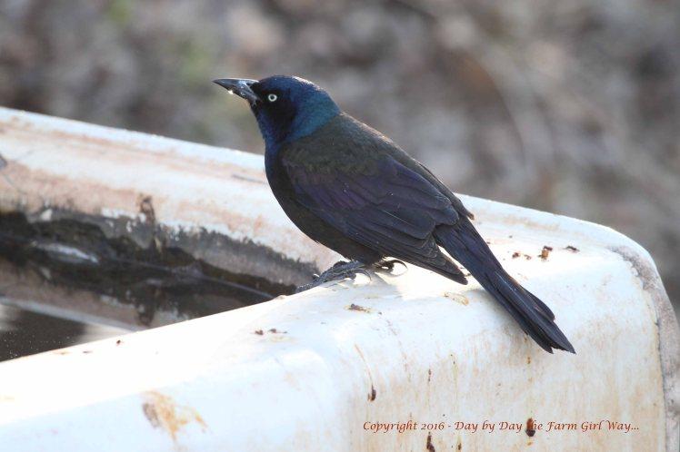 Brewer's Blackbird_4624