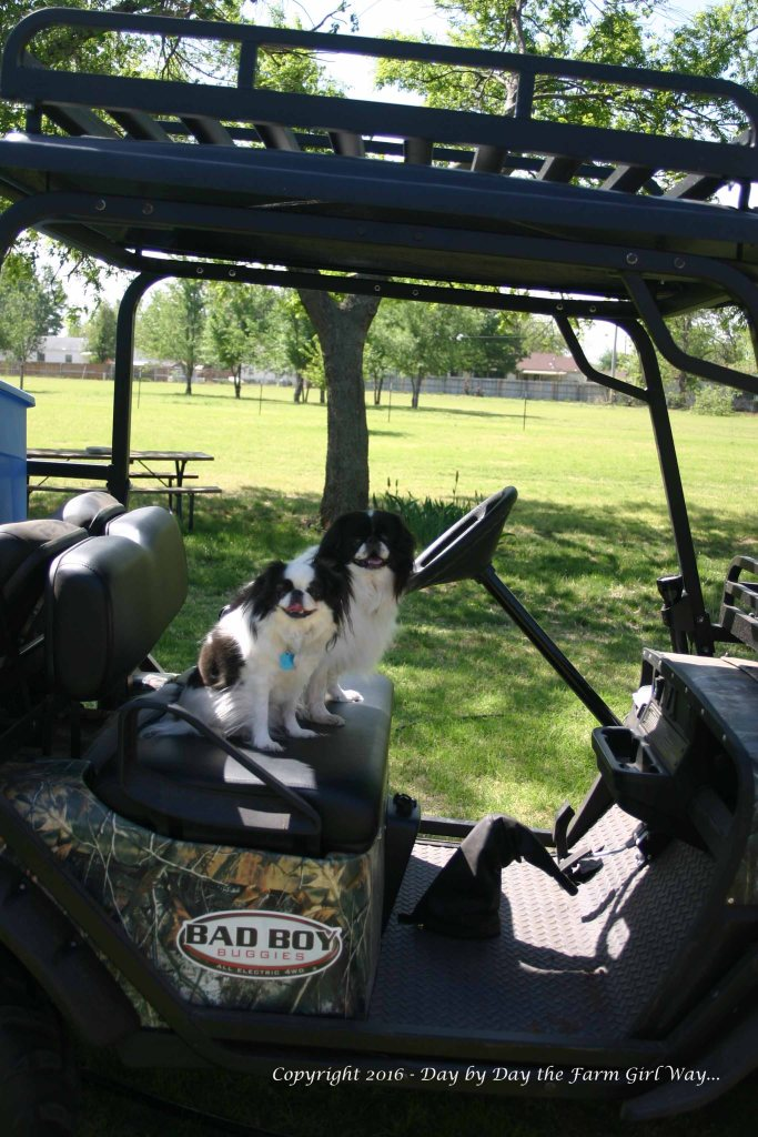 Zoe and foster brother Niko loved to ride in the electric buggy. They were the only two of our Japanese chin and foster chin who would ride in the buggy.