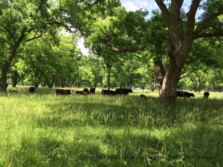 Emily and I spent an hour observing the cows in the nearby pecan grove.