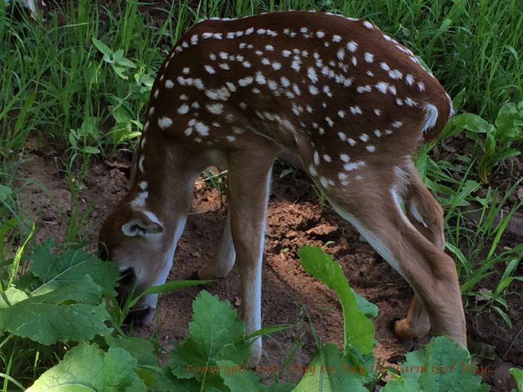 Eating good dirt is an important part of a deer's diet.
