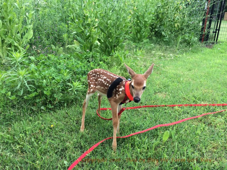 Emma did not like the deer pen. Maybe those ginormous chickory plants seem scary to a wee fawn!