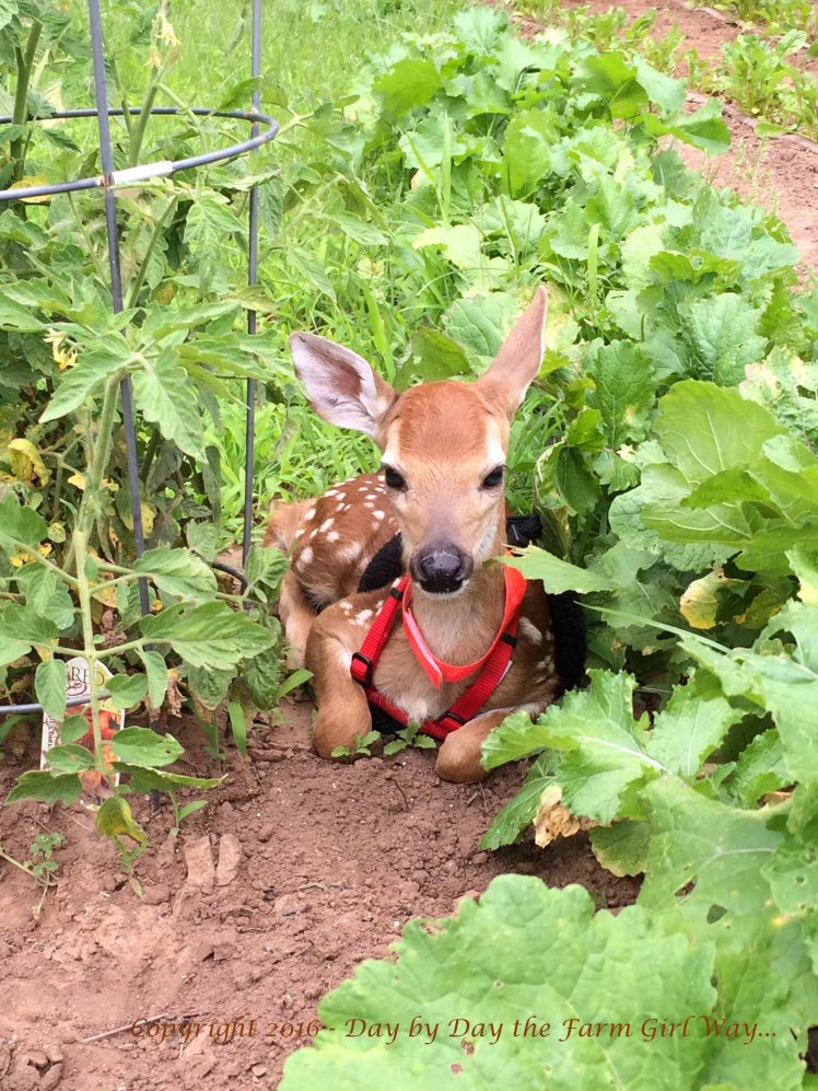 Emma gets comfy nestled between a tomato plant and the turnip row.