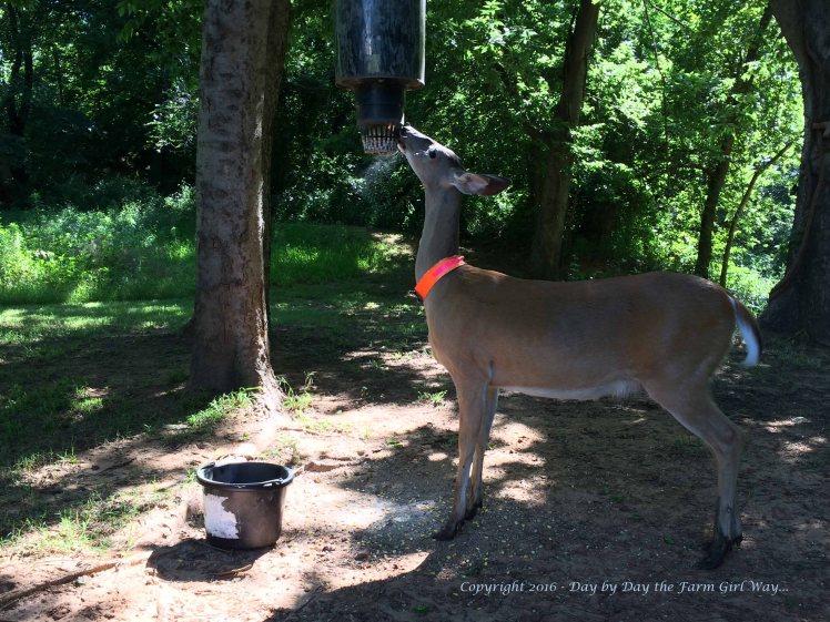 Daisy Deer_0951