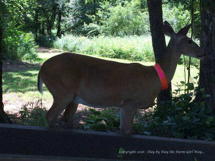 Daisy Deer_0960