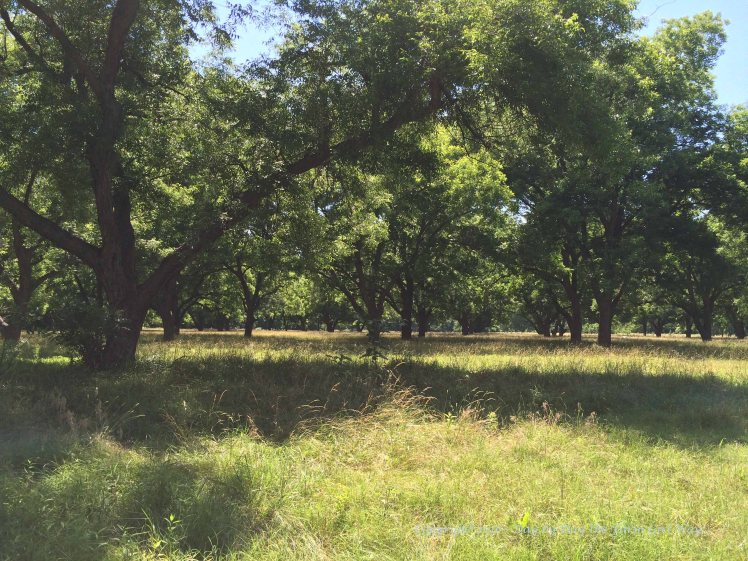 The beautiful Pecan Orchard.
