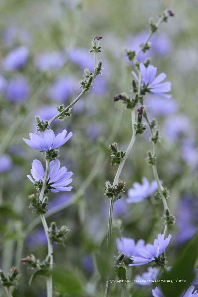 We planted all sorts of deer-friendly plants in the deer pen two years ago. The chicory has grown to six feet tall or more! I love the delicate blue flowers it puts off.