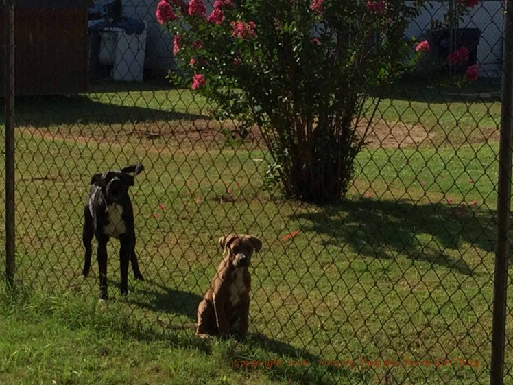 These two are new to the neighborhood. We believe the black dog was the barking dog on the video that possibly scared off the perpetrator on Monday morning.
