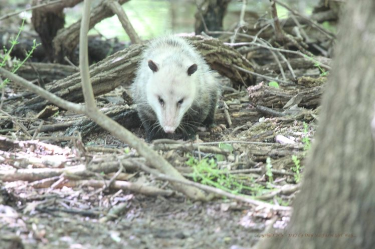 Mama Opossum used to show up with her babies on her back most mornings around 9:00. She and her babies went missing just after the fox kit was killed.