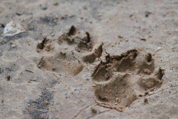 The large paw prints could be seen throughout the woodlands, in my gardens and flowerbeds, and all over our property.