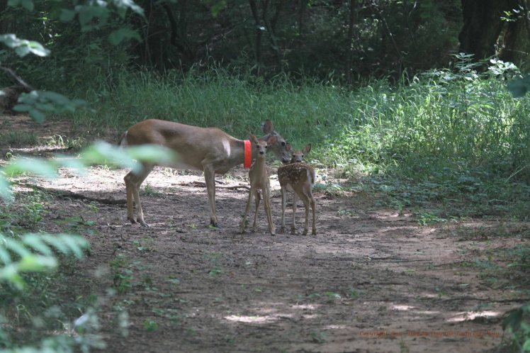 Daisy and Fawns 2016_6054