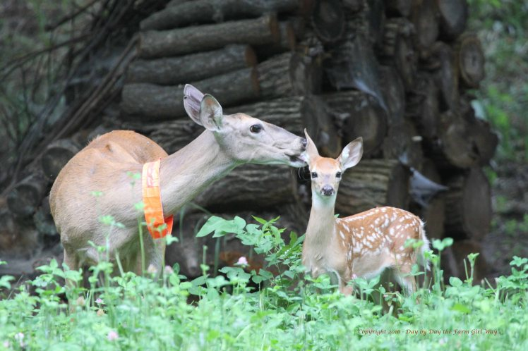 Daisy grooming the male fawn.