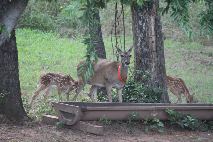 Daisy showing her fawns the water tub, feeders and plant edibles at the bottom of the slope.