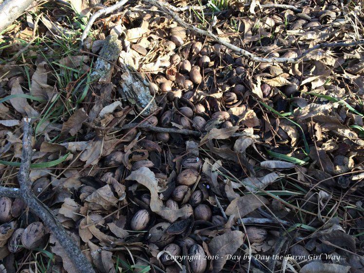 On a good pecan production year, pecans lay scattered under the pecan trees.
