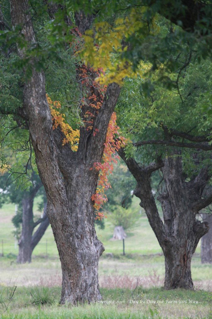 Autumn in the Pecan Orchard is beautiful. Here, Virginia Creeper adds a splash of color in the Pecan Orchard.