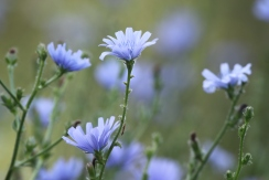 Chicory in Bloom