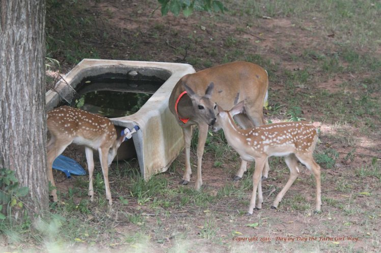 Daisy and Fawns 2016_6270