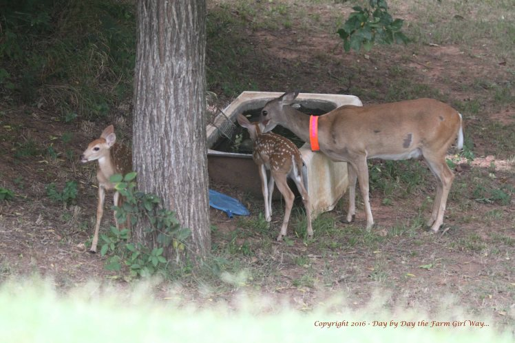 Daisy and Fawns 2016_6274