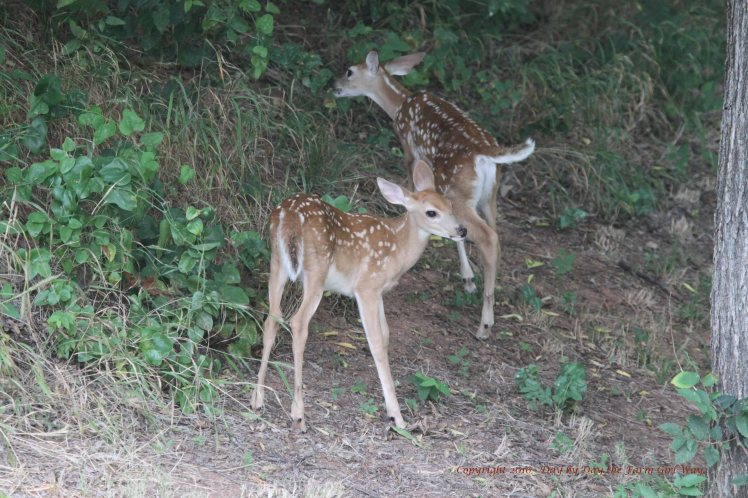 Just at a month of age a doe will bring her fawns out to begin exploring the area. The fawns are six weeks old in these photos.