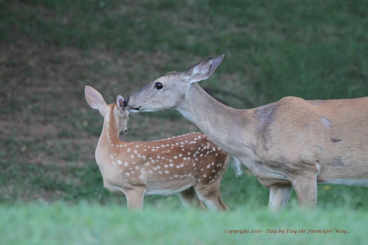 For several days after the loss of her fawn, Daisy hid the remaining fawn in our woodland area while she searched. Daisy has always felt safe in our yard and surrounding area.