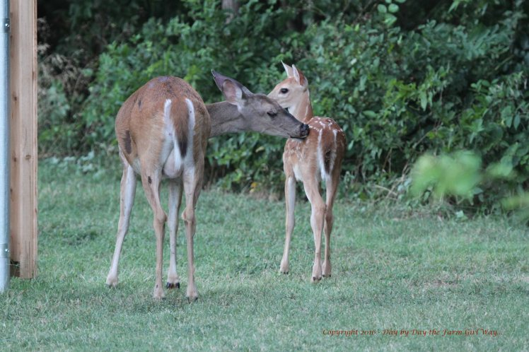 Daisy and Fawn 2016_6723