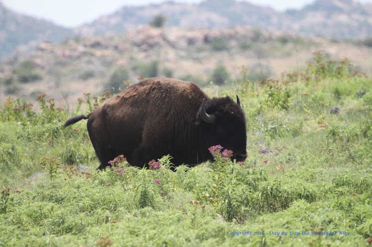 This magnificent bison crossed the road in front of us and proceeded a short distance from us towards a large herd of bison.