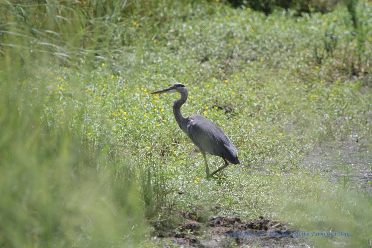 This blue heron was the only fishing competition we had at the last lake we fished at in the mountains.