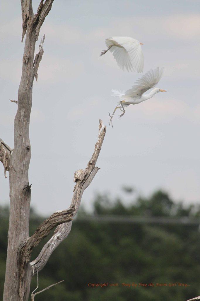 Cattle Egret (Ardea alba)
