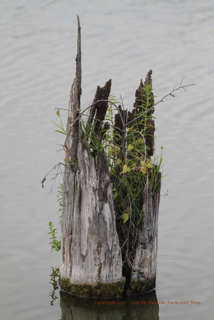 This cedar stump made a lovely oasis of plant life out in the water.
