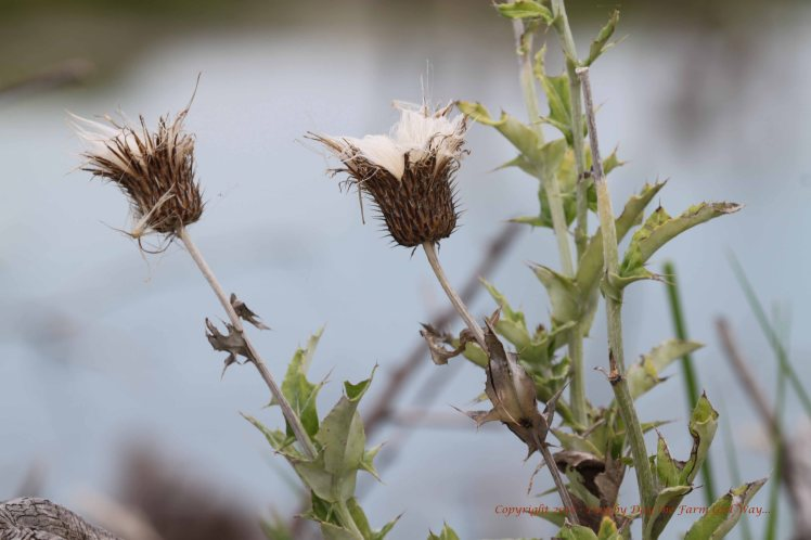Musk Thistle is an invasive weed in this part of the country. This plant has gone to seed.