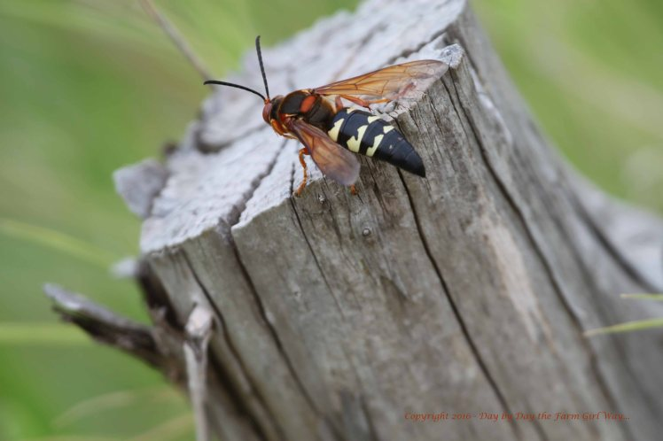 This is a Cicada Killer. Most people fear these insects, but they are more interested in killing cicada's than they are stinging humans.