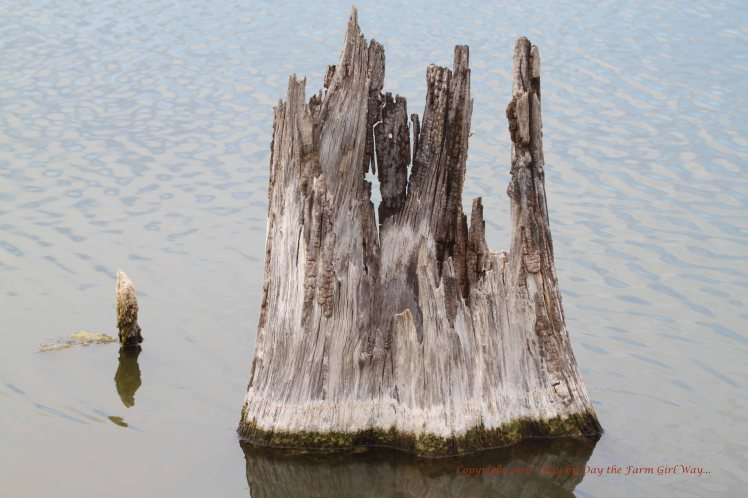 This stump resembles a crown.