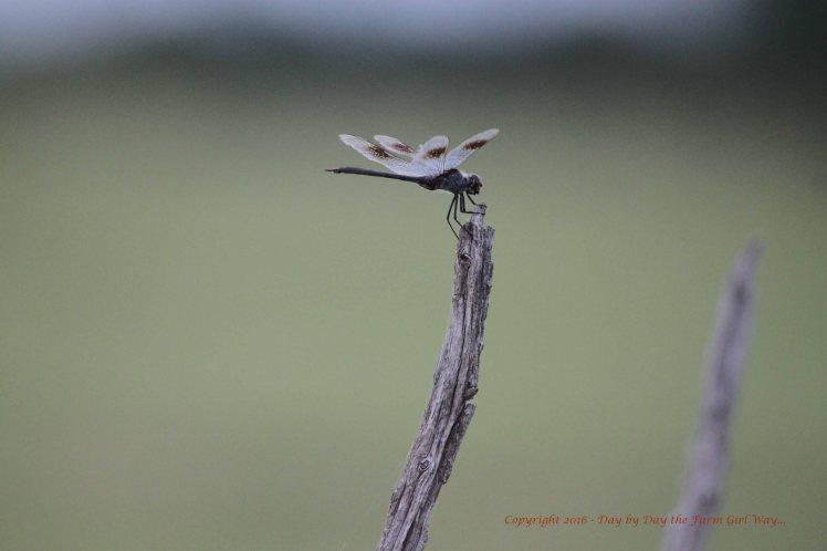 Common Whitetail Skimmer Dragonfly (Libellula lydia)